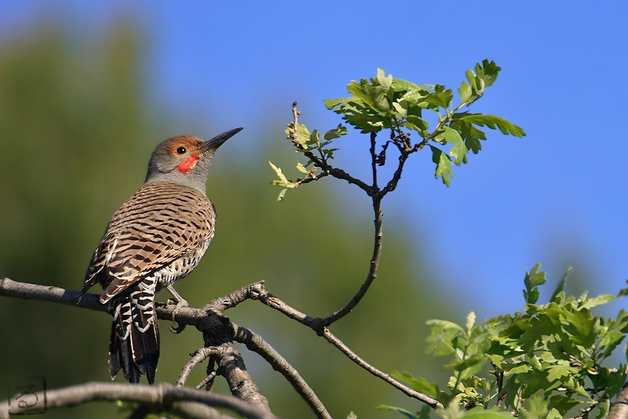 Northern Flicker 03101