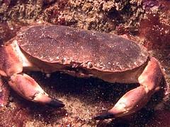 Chancre Crab