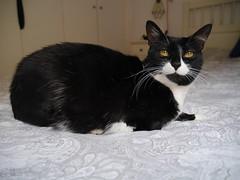 Gitana 31 (adopcionesfelinasvalencia) Tags: gato gitana