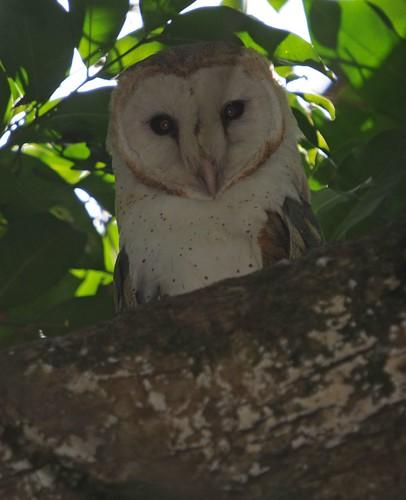 barn owl2