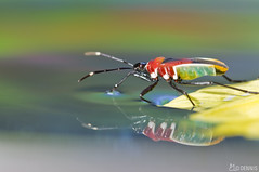 Naked Insect - Harlequin Bug (DeN.Nis) Tags: reflection water insect abigfave superaplus aplusphoto sognidreams vosplusbellesphotos