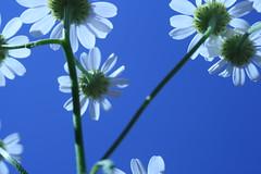 Kamille. (- Wilja -) Tags: blue white blauw wit kamille onzetuin matricariachamomilla