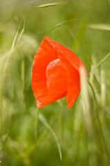 Poppy (Sandra N) Tags: flowers 50mm spring nikon blossom blumen poppy blte frhling mohn flowerage simplyflowers d40