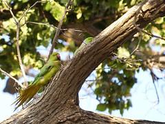 _5285255 (Adisla) Tags: bird birds olympus ave e3 50200mm kramer cotorra psittacula zd50200mm krameri