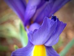 Sure Sign of Spring (Jenn (ovaunda)) Tags: yellow purple sony violet dsch5 jennovaunda ovaunda
