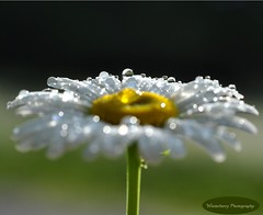 Sparkling Daisy (Tracey Tilson Photography) Tags: morning white black flower green mike nature june yellow wednesday 50mm spring stem nikon peace dof friendship natural bokeh drop dewdrop dew daisy nikkor wildflower 2009 sparkling raynox d90 lsunlight storybookwinner