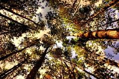 Pinhos (HDR) (Antonio Carlos Castejn) Tags: brasil raw nef sopaulo hdr rvores pinheiros soroque photomatix pinhos nikond90 nikongp1 nikkorvr18105mm