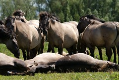 The group (Astrid van Wesenbeeck photography) Tags: horses animals wildhorses paarden behaviour oostvaardersplassen konik koniks gedrag wildepaarden wildekoniks