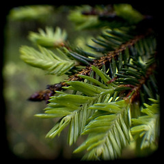 Wet and green (Aniara Trast) Tags: branch sweden needles spruce argus seventyfive ttv wttvd09