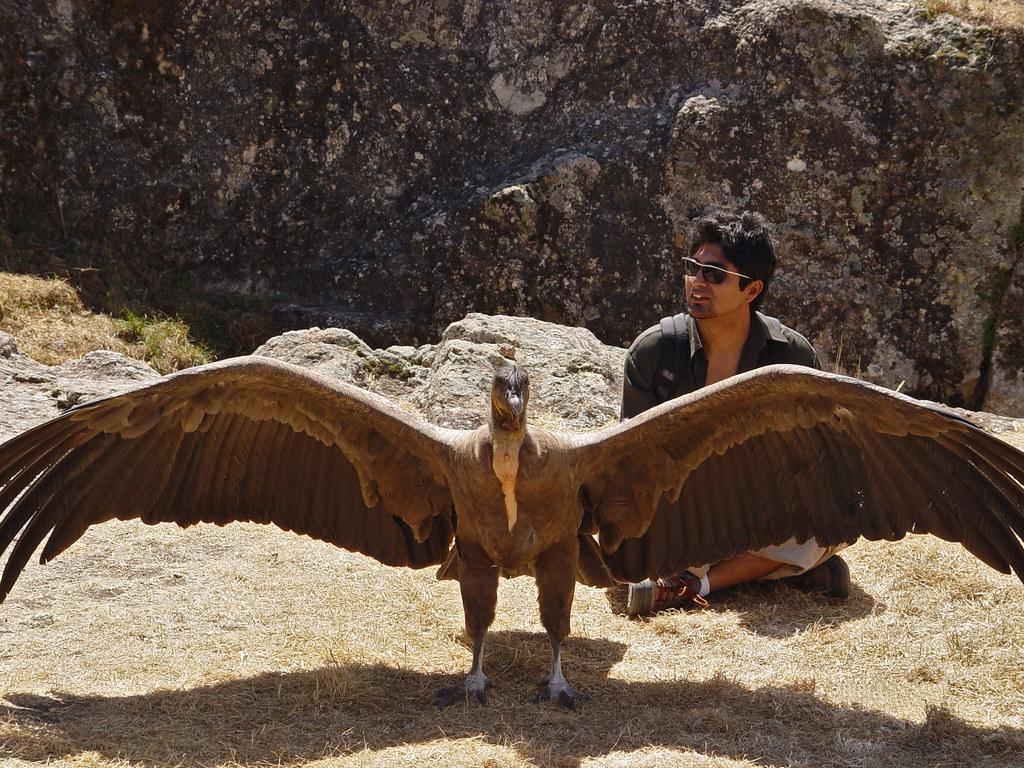 DSC02032 Andean Condor