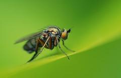 Fly macro (Tamron 90mm lens) [Explored] (ryme-intrinseca, Facebook - BeckyStaresPhotography) Tags: macro field bug garden insect fly leaf nikon dof dorset beast british tamron 90mm swanage depth minibeast d80 ahqmacro