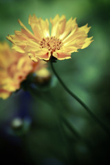 Coreopsis in a gunky mood (alan shapiro photography) Tags: coreopsis gunky masterphotos colorphotoaward ashapiro515 2010alanshapiro alanshapirophotography wwwalanwshapiroblogspotcom 2010alanshapirophotography