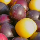 Purple and yellow cherry plums