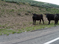 Cows, Badlands, SD (elido1) Tags: west july 2009 headed