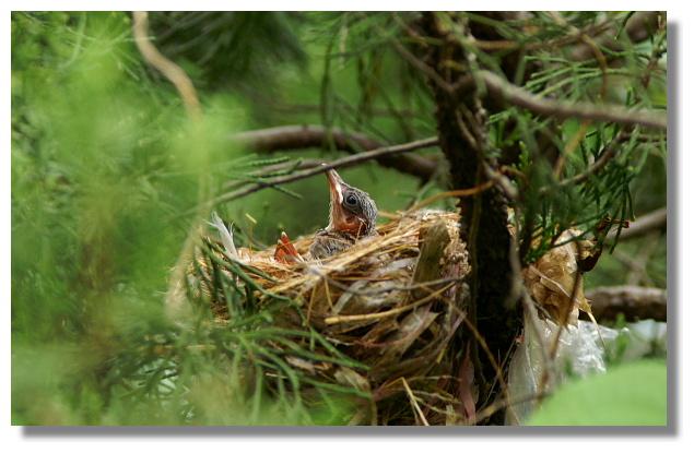 白頭翁鳥巢