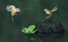 #469  (John&Fish) Tags: wild bird nature wow bravo taiwan best naturesfinest blueribbonwinner specialtouch alittlebeauty sailsevenseas