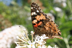 Painted Lady (Andover Jan) Tags: butterfly paintedlady