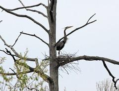 Great Blue Heron (Laura Erickson) Tags: newyork nest ithaca greatblueheron ardeaherodias sapsuckerwoods ardeaherodia