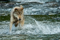 (RangerRoy) Tags: alaska river graywolf brooksfalls katmainationalpark brookdcamp