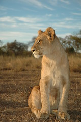 Lion Cub, Zambia (Liv Unni Sødem) Tags: africa nature animals wildlife lion conservation zambia