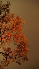 (Lvia Cristina) Tags: autumn brazil sunlight color tree minasgerais folhas leaves brasil digital photography daylight day colorfull sony dia explore belohorizonte nophotoshop fotografia rvore cor galhos outono colorido h50 coth luzdosol coresfortes luzdodia iluminaonatural cmwd cmwdorange naturalilluminaton