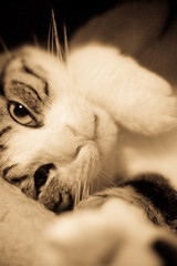 Sleepy Head (KayVee.INC) Tags: sf sanfrancisco california ca cute cat kitten feline lol tabby handsome kitty gatos harley whiskers gato kitteh kawaii 2009 sfspca cavey lolcat kayvee icanhascheezeburger 160809 kayveeinc