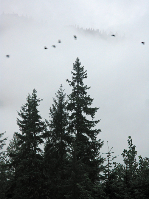 7 birds fly by a tree and a mountain ridge near Juneau, Alaska