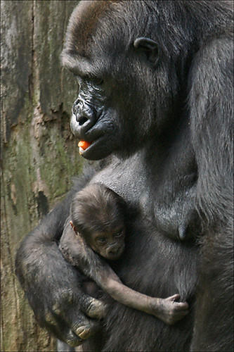 Gorilla mother with baby