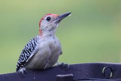 young woodpecker (cTBO) Tags: bird canon rebel woodpecker t1i