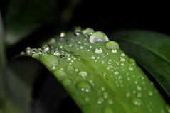 water drops on a grEEn leaf (Toni_V) Tags: macro green reflections zoo rainforest dof bokeh zurich r1 zrich waterdrops 2009 d300 090905 zooh masoalahalle sbr200 ringblitz dsc2272
