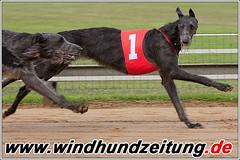 Deerhounds auf der Windhundrennbahn