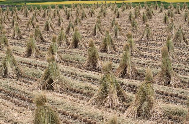稲の刈り後
