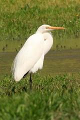 Intermediate Egret (Ardea intermedia) (Away with the Birds) Tags: bird fauna altona cherrylake intermediateegret ardeaintermedia