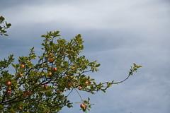 apple tree (iwona_kellie) Tags: friends vancouver britishcolumbia visit richmond beata stevestonvillage