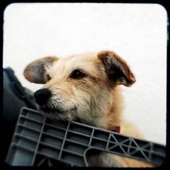 Pup in a crate (TtV365-278) (rustman) Tags: santacruz photowalk duaflex kodakduaflexii ttv throughtheviewfinder duaflex2 ttv365 utatainsc boardwalkbash
