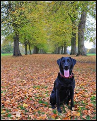 Another missing tennis ball... (Cruithneacht) Tags: autumn trees ball lost labrador tennis another bastard karmapotd