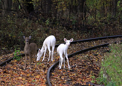 One of these things is not like the others (Abizeleth) Tags: railroad autumn trees brown white fall abandoned forest deer shrubs whitetaileddeer railroadtracks decommissioned odocoileusvirginianus whitedeer senecaarmydepot