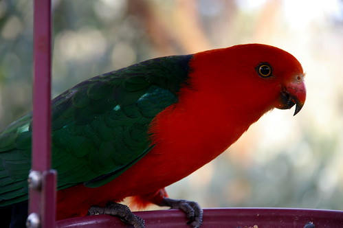 King Parrot in the birdfeeder this afternoon