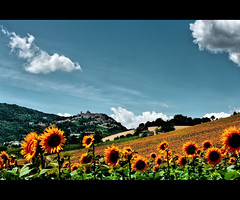 Landscape: Italian Sunflowers in Blue (Gianluca, very busy!) Tags: blue summer italy cloud white holiday home nature colors yellow rural landscape geotagged europe minolta hill sunflower land 58mm marche jesi collina ancona arcevia coth rokkor58mmf12 theciccio geo:lat=43520796 geo:lon=12972107 mygearandmebronze mygearandmesilver mygearandmegold