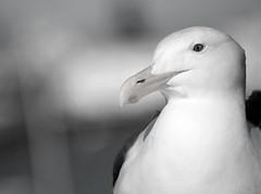White Seagull (carolinamadruga) Tags: sf sanfrancisco portrait bw bird retrato seagull bn gaviota pjaro