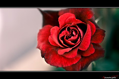 E se io conosco un fiore unico al mondo ... (.alexgallo) Tags: rosa fiore rosso amore giardino ilpiccoloprincipe alexgallo antoinemarierogerdesaintexupry