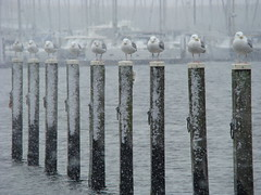 birds on a pole (jukebox.johnny) Tags: portzlande hollandwinter2010