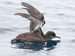 Sooty Shearwater, Puffinus griseus (bruce_aird) Tags: