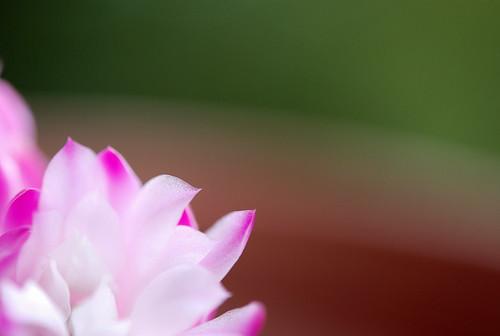 仙人掌開花了……