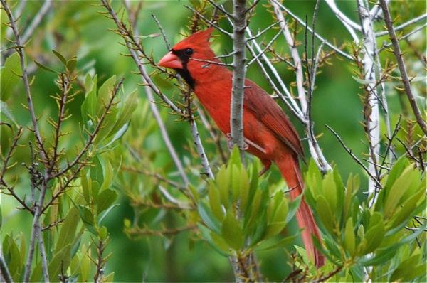 cardinal_0064