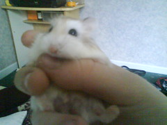Mobile phone photos005 (ikieran97) Tags: hamsters jotoh