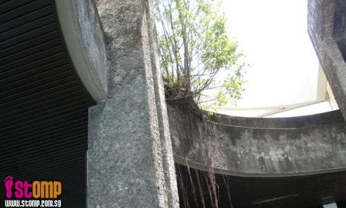 Long tree roots may damage overhead bridge
