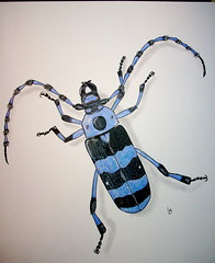 Rosalia funebris (GunnerGirl) Tags: art illustration bug painting insect sketch paint journal beetle sketchbook draw entomology coleoptera