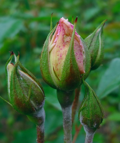 Roses - Schneewitchen