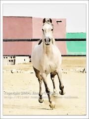The Arabian Horse,   ({ahradwani.com} Hawee Ta3kees- ) Tags: horse stilllife animal photoshop nikon ali hassan effect 2009 doha qatar shutterspeed  d90     18105mm nikond90  nikond90club nikon18105mm hawee 18105mmlens  haweeta3kees   ta3kees ahradwanicom ahradwani nikond90sampleimages